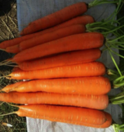 Supplies of Carrots By Wholesale - For Export